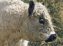 Galloway bull Stock Photography
