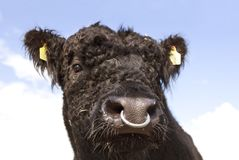 Galloway bull head. Head of a black galloway bull with nose ring Stock Photos