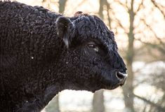 Galloway bull. In a nature reserve in the Netherlands. Due to their hardiness and calm nature they are favoured in the Netherlands as big grazers in nature Stock Image