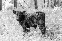 Galloway calf Royalty Free Stock Photo