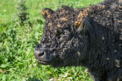 Galloway cattle Stock Photography