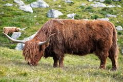 Galloway cattle at an alp. One part to maintain the traditional alp Meadows is to Keep there cattles. They have a two layer fur and a thick Skin. Thats why  they royalty free stock photo