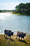 Galloway cattle at a beach Stock Photo