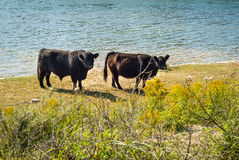 Galloway cattle at a beach royalty free stock photo