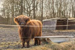 Galloway cattle behind wires on pasture with watering place near royalty free stock photo
