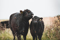 Galloway cattle. Black Galloway cows resting and standing in a nature reserve in Netherland Royalty Free Stock Photo