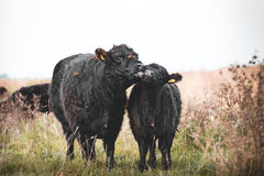 Galloway cattle. Black Galloway cows resting and standing in a nature reserve in Netherland Royalty Free Stock Images