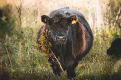 Galloway cattle. Black Galloway cows resting and standing in a nature reserve in Netherland Stock Images