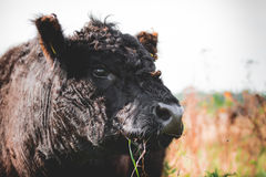 Galloway cattle. Black Galloway cows resting and standing in a nature reserve in Netherland Royalty Free Stock Photography