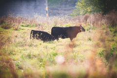 Galloway cattle Stock Images