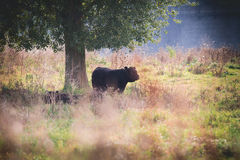 Galloway cattle. Black Galloway cows resting and standing in a nature reserve in Netherland Stock Photo