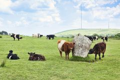 Galloway Cattle Bodmin Moor Cornwall UK. 11 June 2018: Bodmin Moor, Cornwall, UK - Galloway Cattle grazing at The Hurlers Stone Circle royalty free stock images