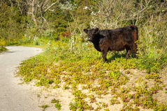 Galloway cattle in a forest Stock Photography