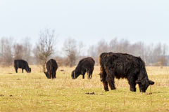 Galloway cattle grazing Royalty Free Stock Photo