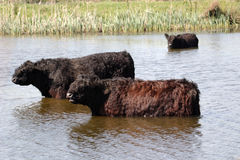 Galloway cattle in lake. The Galloway is one of the world's longest established breeds of beef cattle, named after the Galloway region of Scotland, where it Stock Photos