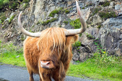 Galloway cattle in Scotland Stock Image