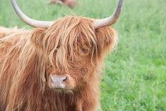 Galloway Cattle - Scottish Highland Cattle royalty free stock images