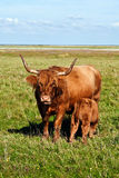 Galloway cattle standing in the meadow Royalty Free Stock Photography