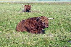Galloway cattle standing in the meadow Stock Image
