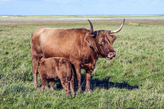 Galloway cattle standing in the meadow Royalty Free Stock Images