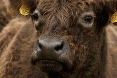Galloway. Close-up van een Galloway kop, Close up of a Galloway head stock images