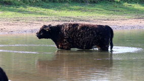 Galloway cow, Bisonbaai near Nijmegen, Holland Royalty Free Stock Images
