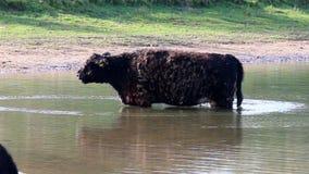 Galloway cow, Bisonbaai near Nijmegen, Holland stock footage