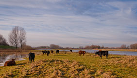Galloway Cows And Bulls In A Dutch Nature Reserve Stock Photos