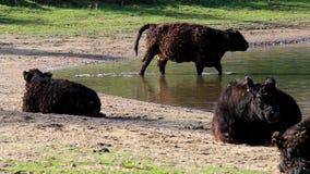 Galloway cows, Bisonbaai near Nijmegen, Holland stock video footage