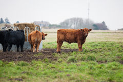 Galloway cows grazing on farm Royalty Free Stock Image
