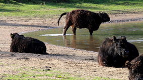 Galloway cows near Bisonbaai, Nijmegen, Holland stock video footage