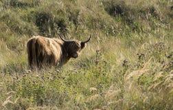 Galloway djur i holland Royaltyfria Foton