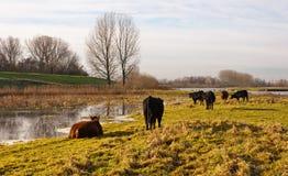 Galloway-Kühe und Stiere in einem holländischen Naturreservat Stockbild
