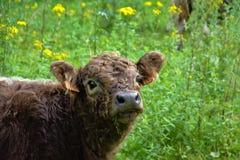 Galloway kalv i naturlig miljö Royaltyfria Foton