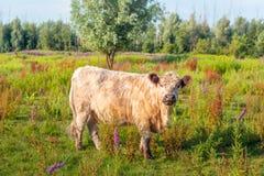 Galloway ko som poserar för fotografen Arkivfoto