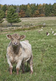 Galloway krowa Fotografia Royalty Free