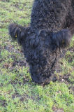 Galloway krowa Obraz Royalty Free