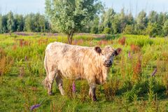 Galloway krowa pozuje dla fotografa Zdjęcie Stock