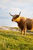 Galloway-Kuh mit Hupen Lizenzfreie Stockfotografie