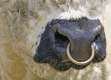 Galloway mouth with nose ring Royalty Free Stock Photo