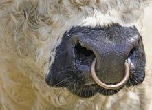 Galloway-Mund mit Nasenring Lizenzfreies Stockfoto