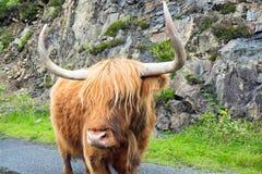 Galloway nötkreatur i Skottland Fotografering för Bildbyråer