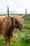 Galloway nötkreatur i Skottland Royaltyfria Bilder