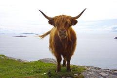 Galloway på en klippa i Skottland Royaltyfri Bild