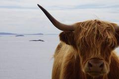 Galloway på en klippa i Skottland Arkivbild