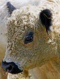 Galloway tjur Fotografering för Bildbyråer