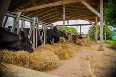 Galloway-Vieh auf einem Bauernhof stockfotografie