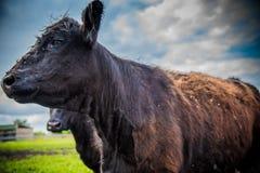 Galloway-Vieh auf einem Bauernhof lizenzfreie stockfotos