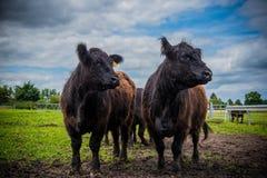 Galloway-Vieh auf einem Bauernhof lizenzfreie stockfotografie
