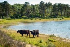 Galloway-Vieh an einem Strand lizenzfreie stockfotografie